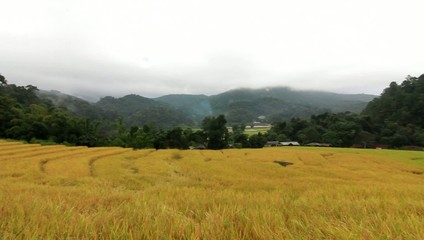 Golden rice Chiang Mai thailand