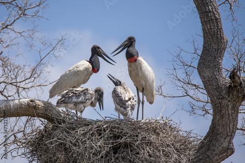 Jabiru Stork Family Communicating on Nest Poster