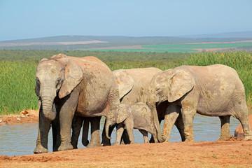 African elephants at waterhole, Addo Elephant National Park