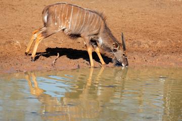 Nyala antelope drinking, Mkuze game reserve