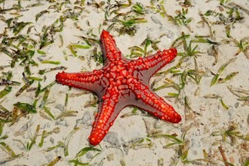 Colorful red starfish on wet sand, Zanzibar island