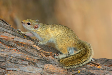 Tree squirrel (Paraxerus cepapi) sitting in a tree