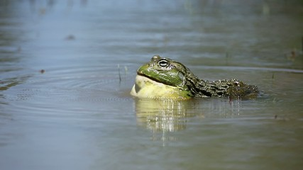 Male African giant bullfrog calling in a pond