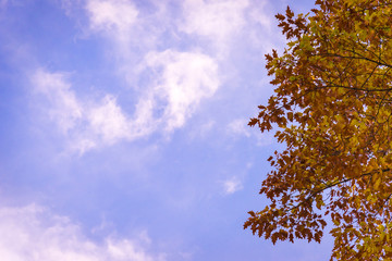 Colorful autumn leaves against blue skies and wispy white clouds