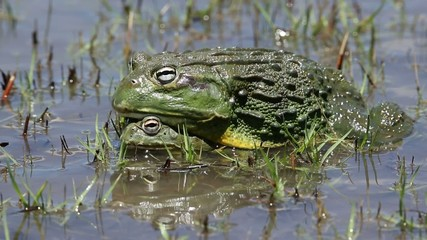 A pair of African giant bullfrogs mating in water