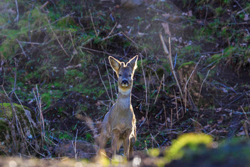 Roe Deer Buck in woods
