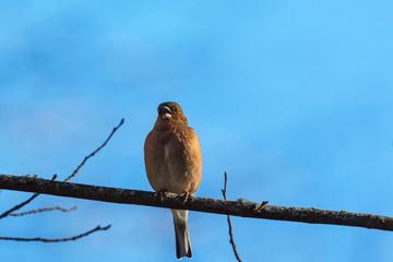 Chaffinch singing