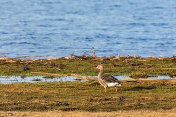 Greylag Goose at a beach