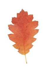 red oak autumn leaf