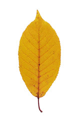 wild cherry autumn leaf