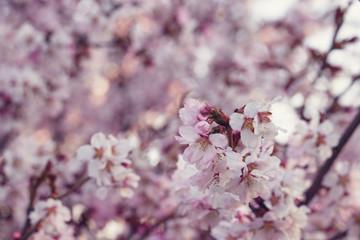 japan cherry sakura flowers in bloom