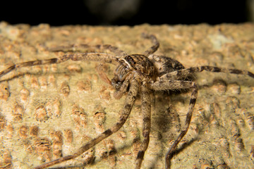 Macro shoot of a tarantula spider over a wooden table, poison in