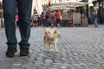 Small city dog, chihuahua, walking in a busy city