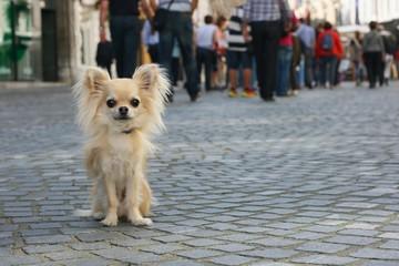 Small city dog on leash, chihuahua, sitting on pavement