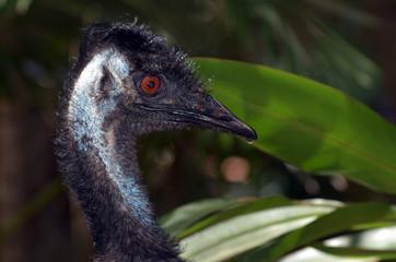 Wild Emu bird