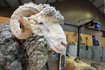Male Merino sheep