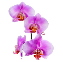 Blooming  beautiful branch of lilac orchid is isolated on white