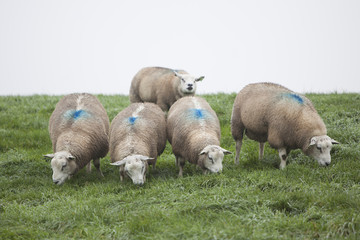 five sheep on grassy dike in holland