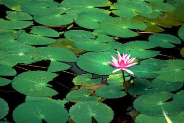 water lily flowers (Pink lotus)