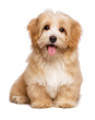 Leinwanddruck Bild - Beautiful happy reddish havanese puppy dog is sitting frontal