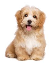 "Постер, картина, фотообои ""Beautiful happy reddish havanese puppy dog is sitting frontal"""