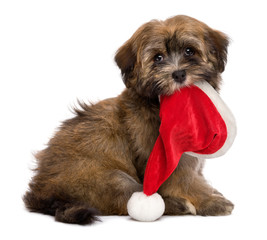 Cute sitting Havanese puppy is keeping a Santa hat in her mouth