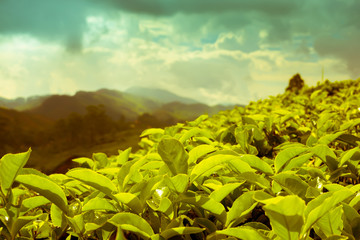 beautiful landscape of tea plantations and mountain in India, Ke