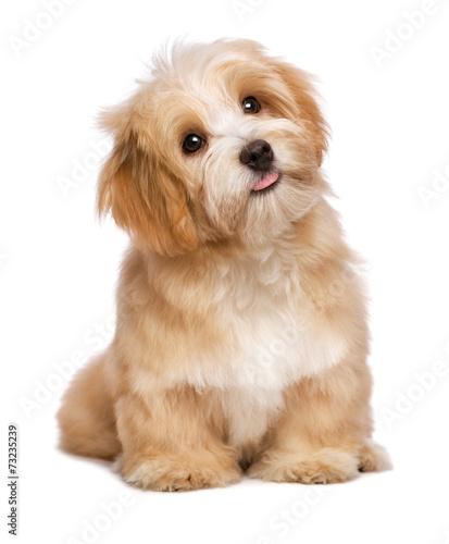 Beautiful sitting reddish havanese puppy dog is looking upward