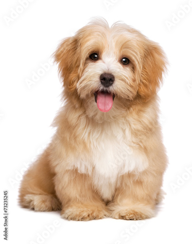Foto Spatwand Hond Beautiful happy reddish havanese puppy dog is sitting frontal