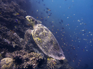 Hawksbill turtle (Eretmochelys imbricata), Ari Atoll Maldives