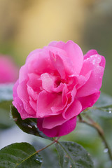Bright beautiful pink rose shined with the sun