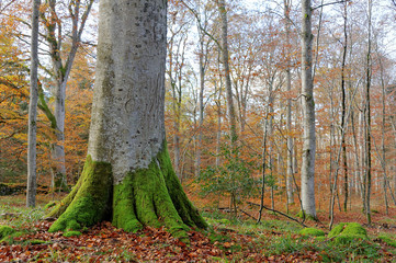 Auvergne, la hêtraie d'Allagnat en automne