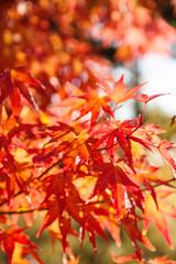 autumn orange leaves with sunlight