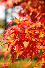 close up Image of red Japanese maple leaves