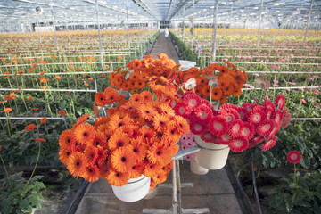 many red and orange flowers in dutch greenhouse