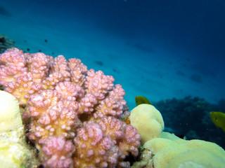 rosa Koralle
