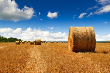 Harvested haybales in a field