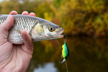 Chub with plastic bait in mouth
