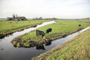 landscape with cows in holland