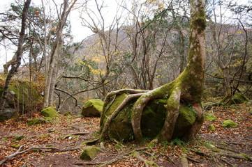 岩をつかむ木