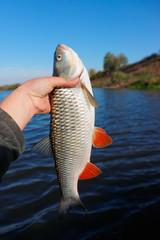 Big chub in fisherman's hand