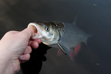 Fisherman is handling a chub
