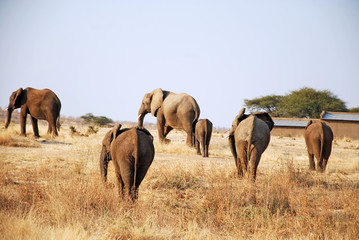 One day of safari in Tanzania - Africa - Elephants