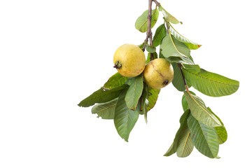 two organic guavas, biological cultivated, in a tree branch, iso