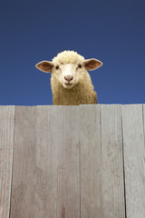板壁から覗く子羊