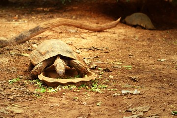 Tortoise eat plants for food in the wild.