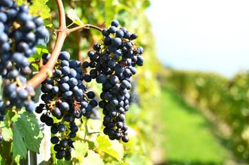 Grapes in Lavaux region, Switzerland