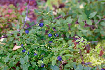 Ripe blueberries on the bush branches
