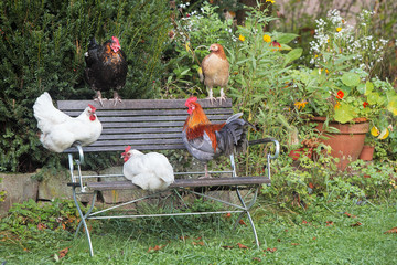 4 chicken and a cock on the garden bench