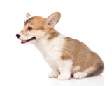 Pembroke Welsh Corgi puppy sitting in profile. isolated on white